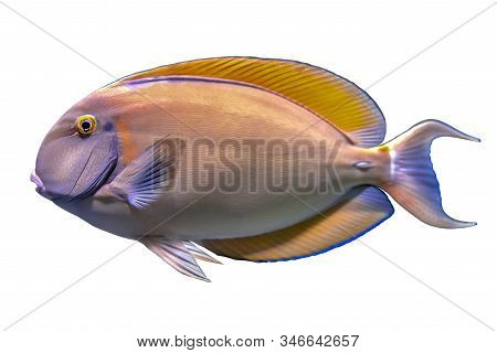 Tropical Coral Fish Yellow Fin Surgeon Fish  Isolated On White Background