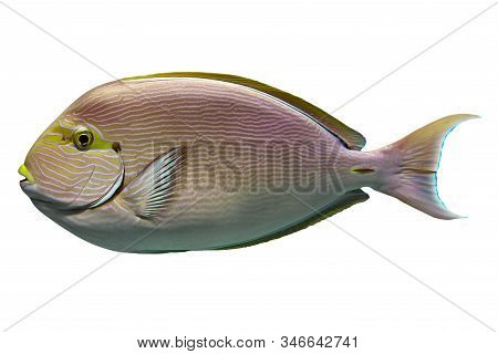 Tropical Coral Fish Surgeon Fish Isolated On White Background