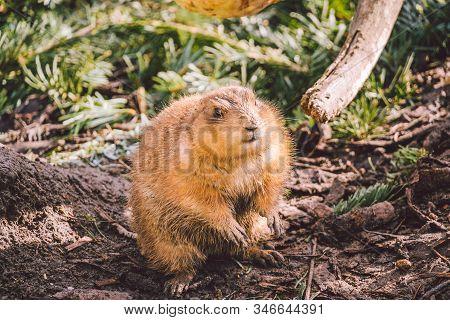 Closeup Of An Alpine Marmot Eating. Adult Brown Alpine Marmot Close Up. Marmota Marmota. Alpine Marm