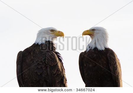 A Pair Of Bald Eagles Facing Each Other