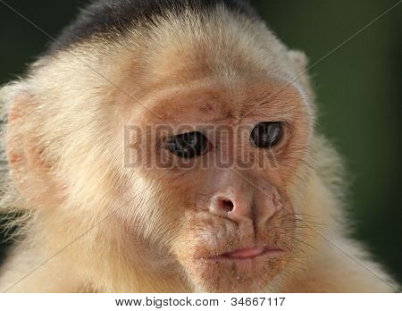 Close-up Of A White Faced Capuchin Monkey