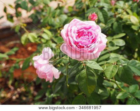 Beautiful Pink Coral Rose Flower In Roses Garden.background Texture Blooming Flower Pink Coral Rose.