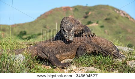 The Fighting Comodo Dragon (varanus Komodoensis) For Domination. It Is The Biggest Living Lizard In