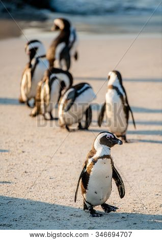 African Penguins On The Sandy Beach. African Penguin Also Known As The Jackass Penguin, Black-footed