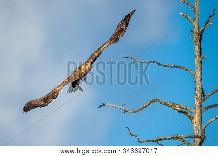 Juvenile White-tailed Eagle  In Flight. Front View. Sky Background. Scientific Name: Haliaeetus Albi