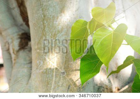 Green Leaf Pho Leaf, (bo Leaf, Bothi Leaf) With Sunlight In Nature. Bo Tree Representing Buddhism In