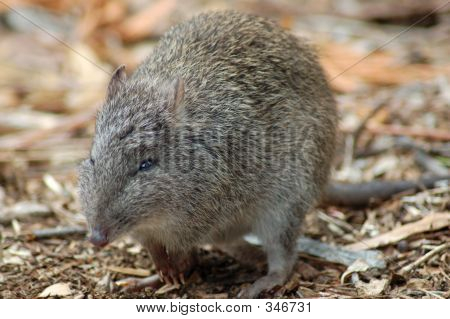 the long-nosed potoroo represents australia's most ancient real kangaroo. it looks like a cross between a rat and a bandicoot. poster
