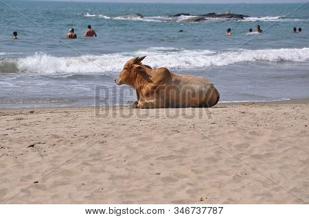 Goa, India-march 03, 2013:goa Beaches, Sacred Animal India Cow On The Beach