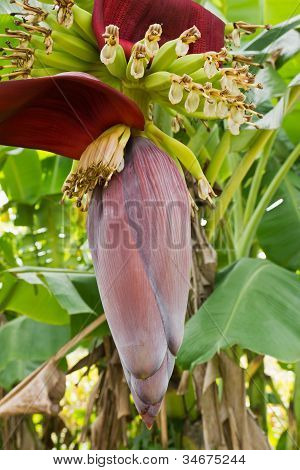 Banana Blossom And Bunch On Tree