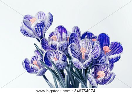 Bouquet Of Crocus Flowers With Blue Colored Petals. Genus Flowering Plants On Light Background With