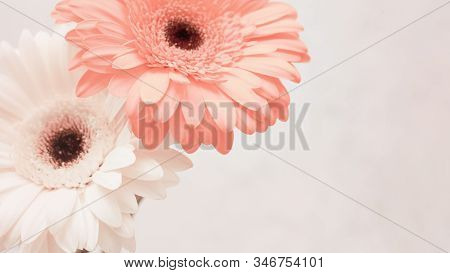 Gentle Pink Gerbera Flower Close Up. Natural Flowery Background With Copy Space. Greeting Card For S