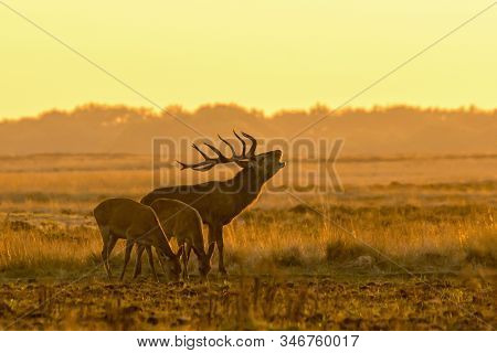 Red Deer (cervus Elaphus) Stag With Two Female Red Deer In Rutting Season On The Field Of National P
