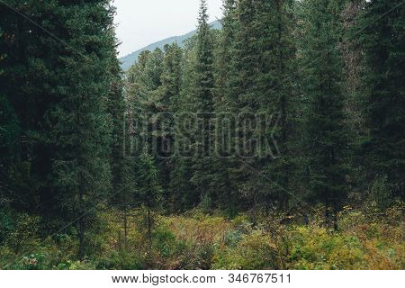 Deep Taiga Forest Thicket With Tall Pines, Firs, Cedars, And Other Coniferous Trees, Small Glade In