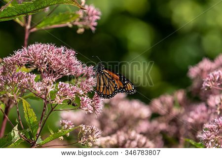 Monarch Butterfly ( Danaus Plexippus) Feeding On Pink Milkweed Flower