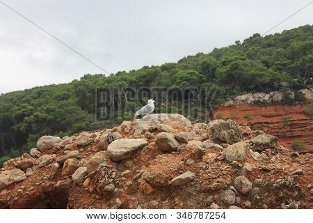 Two Specimens Of White-legged White Seagulls Perched On A Cliff Rock Observing The Horizon Waiting F