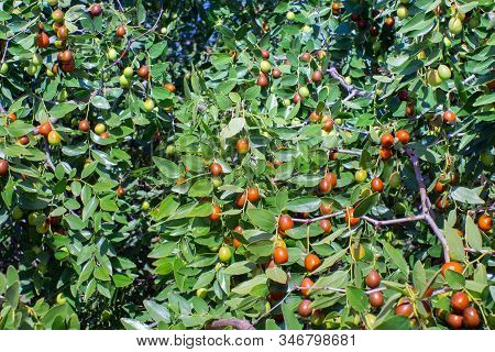 Jujube In The Process. Exotic Fruit. Chinese Date. Fruits And Leaves Of Jujube On The Tree Branches