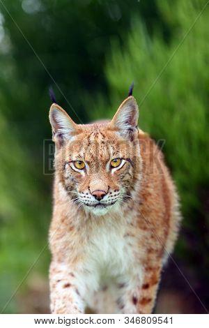 The Eurasian Lynx (lynx Lynx), Portrait. Eurasian Lynx Portrait. Lynx Portrait Insite The Greenery.