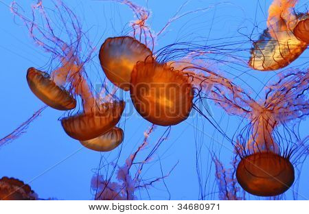 Pacific Sea Nettle Jellyfish Floating