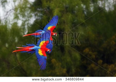 The Scarlet Macaw (ara Macao) Flying Through Forest With Green Background.  Macaw Pair Flying High I