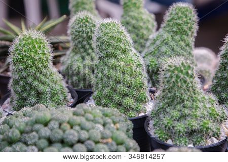 Succulents Cactus In Desert Botanical Garden. Succulents Cactus For Decoration. Cactus Succulents In