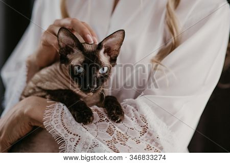 Beautiful Bride With Her Siam Sphynx Cat In Her Hands. Blue Eyes Cat Looking In The Camera. Bride Pe