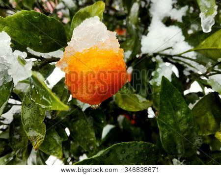 Tangerine Mandarin Orange Fruit & Leaf On Tree In Snow - Winter Weather Background. Tangerine In Man