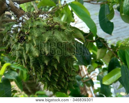 Soursop (annona Muricata L. / Sirsak / Durian Belanda) Hanging On The Tree In The Garden