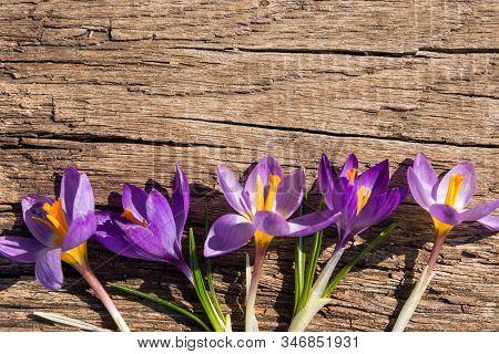 Purple Crocus Flowers On Rustic Wooden Background