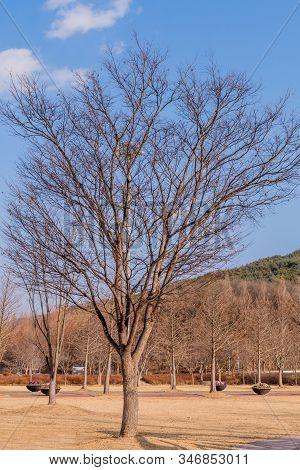 Leafless Tree Hibernating For The Winter In Public Park Under Blue Sky.