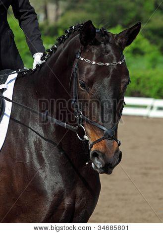 Dressage horse portrait