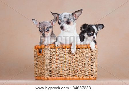 Three Chihuahua Dogs Sit Together In A Wicker Basket