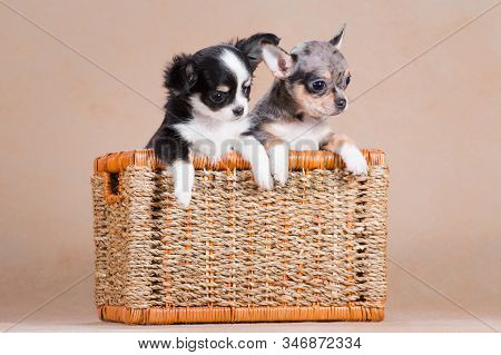 Two Chihuahua Dogs Sit Together In A Wicker Basket