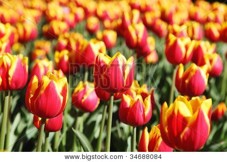Beautiful Blooming Red Tulips Kees Nelis.