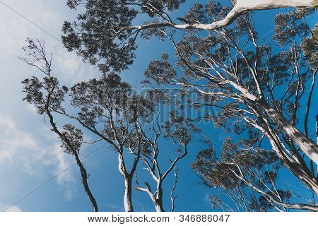 Eucalyptus Gum Tree Branches Against Contrasty Deep Blue Sky
