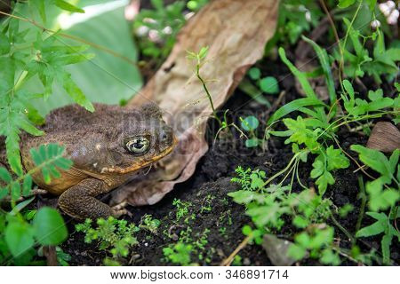 Tropical Toad Bright Eye In Green Plants. Magic Eye Of Tropical Frog. Exotic Animal Closeup. Tropica