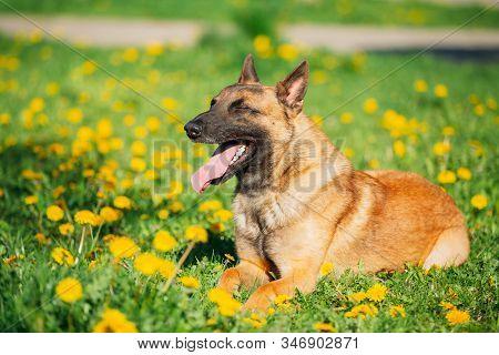Malinois Dog Sitting Outdoors In Green Spring Meadow With Blooming Dandelion Flowers. Belgian Shephe