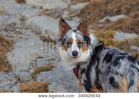 Close-up Of Tricolor Border Collie Dog In The Mountains.concept Animal