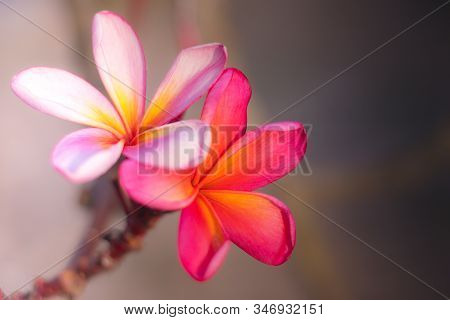 Couple Of Light Pink And Dark Pink Frangipani Flowers. Blossom Plumeria Flowers On Blurred Backgroun