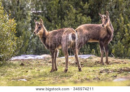 Two Pyrenean Chamois (rupicapra Rupicapra) Is A Species Of Goat Antelope Native To Mountains In Euro