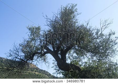 Crooked Olive Tree In Front Of The Blue Sky And A Green Mountain Slope, Back Lit
