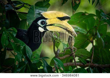 Oriental Pied-hornbill - Anthracoceros Albirostris Large Canopy-dwelling Bird In Bucerotidae, Sunda
