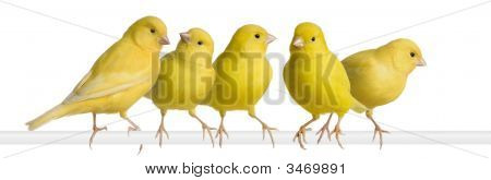 Flock of Yellow canary - Serinus canaria on its perch in front of a white background poster