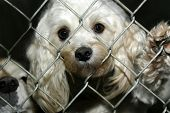 Begging for a home. This white poodle sticks her nose through the fence at the pound. poster