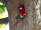 This pair of nesting scarlet macaws were seen in the Carara National Park area of Costa Rica. They mate for life. poster