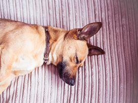 Cute Dog Sleeping On A Sofa - Our Pets