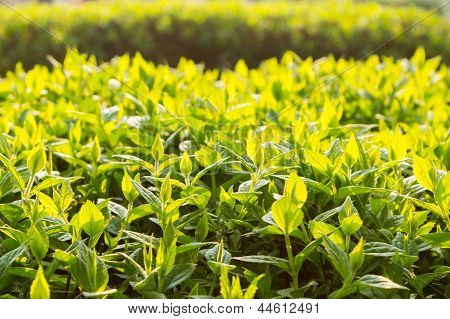Green Bush Leaves In Backlight