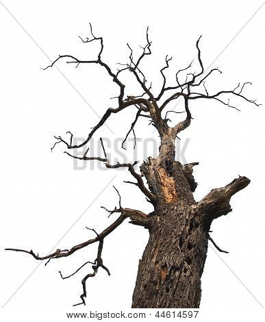 A dry and scary oak tree from bellow poster