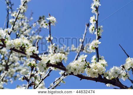 Plum Blooming