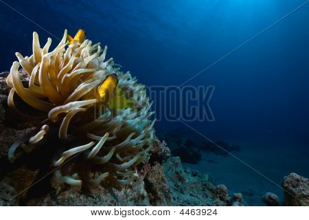 Magnificent Anemone And Anemonefish