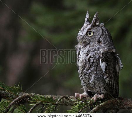 Perched Screech Owl